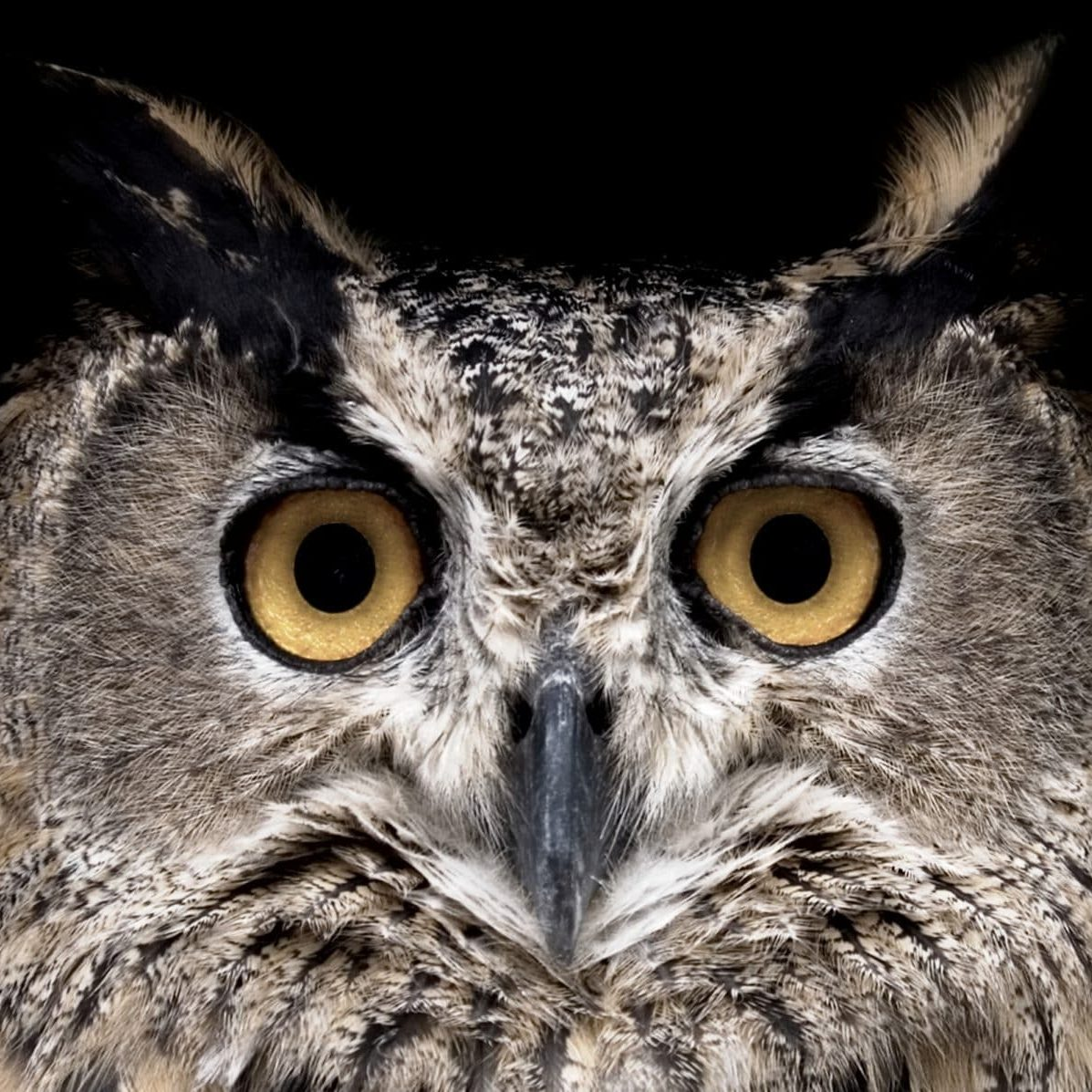 Owl watching in camera. Isolated on Black.See more images like this in: